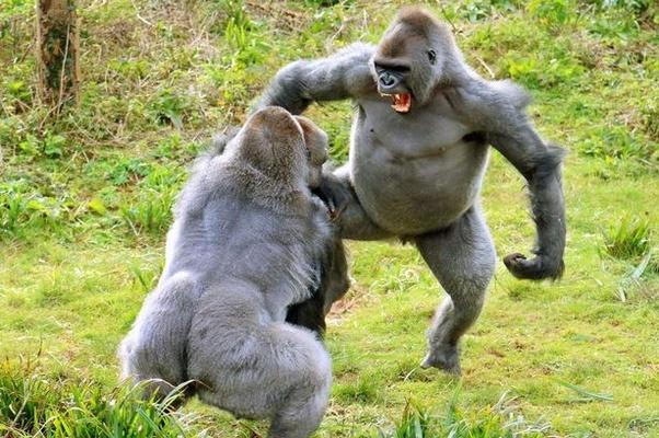 How do gorillas build muscle? - Quora