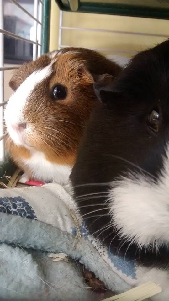 Will guinea pigs eat too much if you give them too much food
