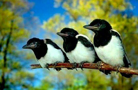 Baby Magpie - Trevor's Birding