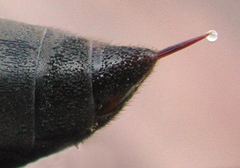 Do black wasps sting? How bad are their stings? - Quora
