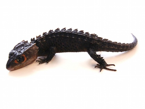 What kind of lizard is the coolest looking? - Quora
