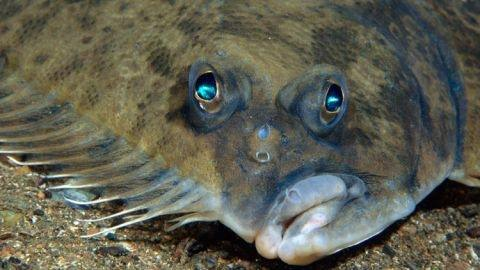 What Type Of Fish Is Flounder In The Little Mermaid Quora
