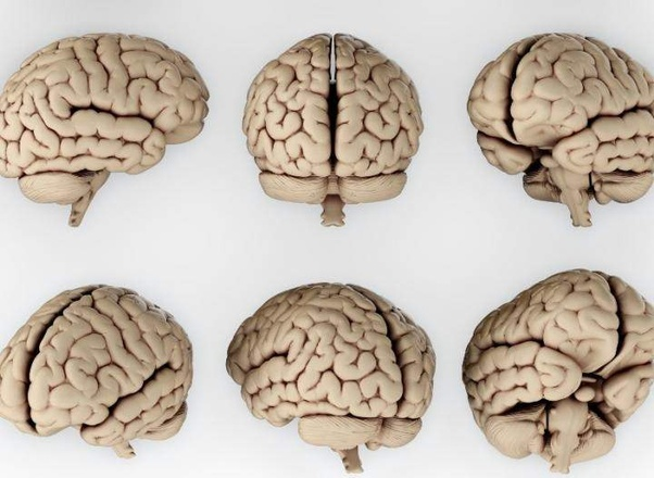 What Is The Weight Of The Average Human Brain
