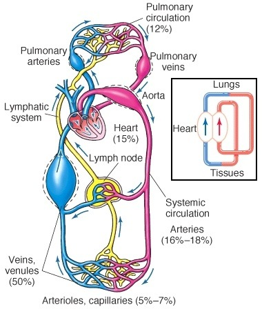 Is a blood vessel defined more by its content (oxygenated ...
