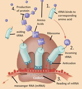 main qimg 2cb5c93a6f9926efb7f6408ea59649ef how does the cell interpret the genetic code? quora