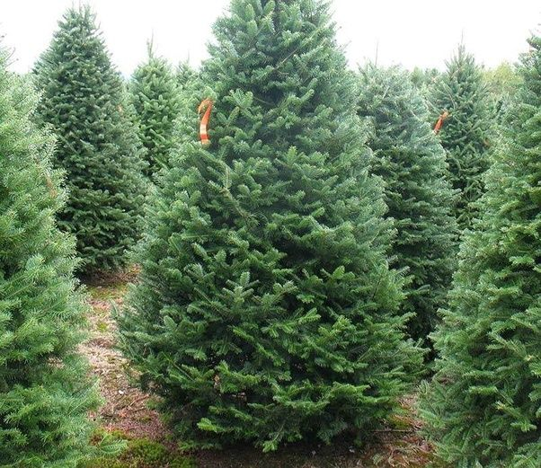 When Do You Trim Christmas Trees?