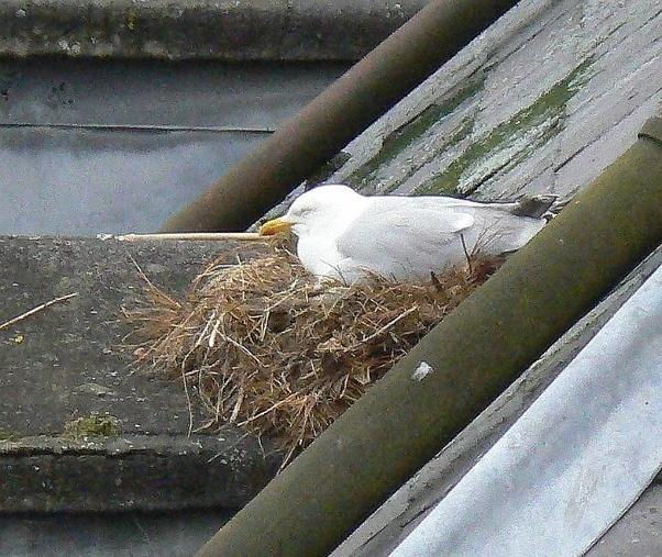 Where do seagulls often nest? - Quora