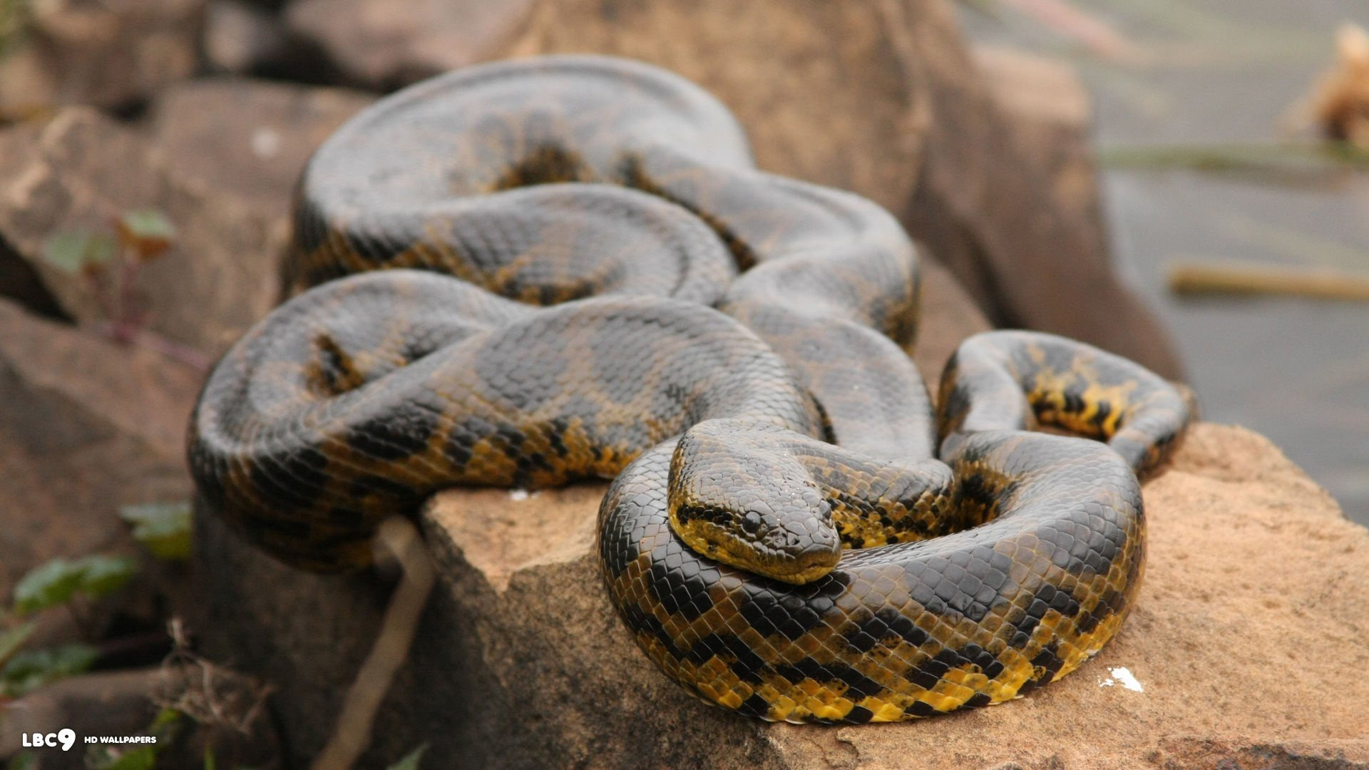 What are some cool facts about Anacondas? - Quora