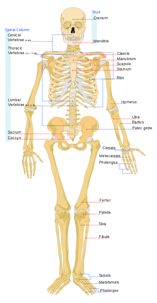 How many bones are in the human body? - Quora