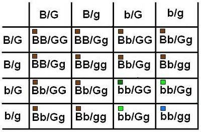 Eye colour in humans is mostly influenced by 2 genes, let's call them B  (brown) and G (green).