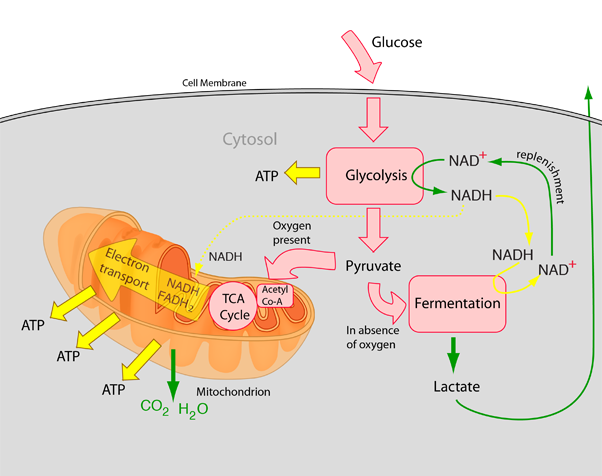 What are factors that affect cellular respiration quora in glucose aerobic respiration we need to make glycolysis tca cycle and electron transport forget about the fermentation bit ccuart Images