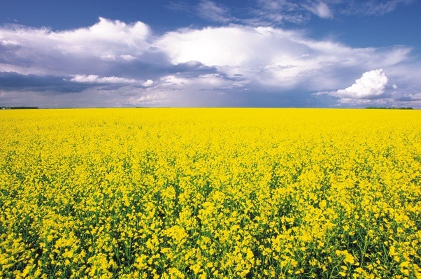 why was canola oil called rapeseed oil quora