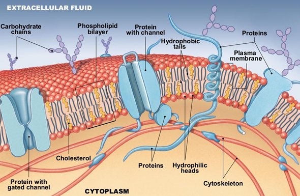 is there extracellular fluid present outside the cell