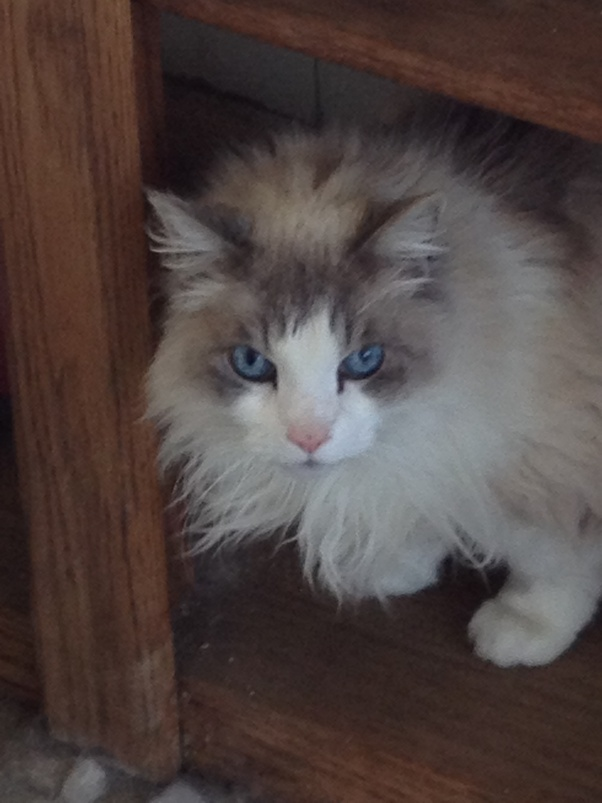 How Much Do Siamese Cats Meow And When? I Am Looking For A