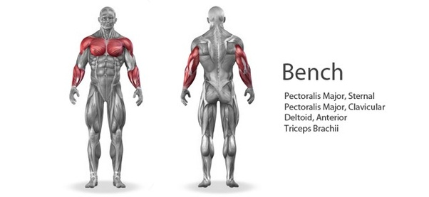 what muscle groups are worked in a bench press versus a chin up  why can someone 130lbs do a