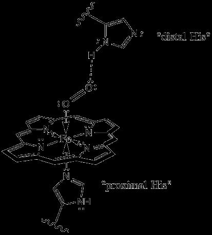 What is distal histidine? - Quora