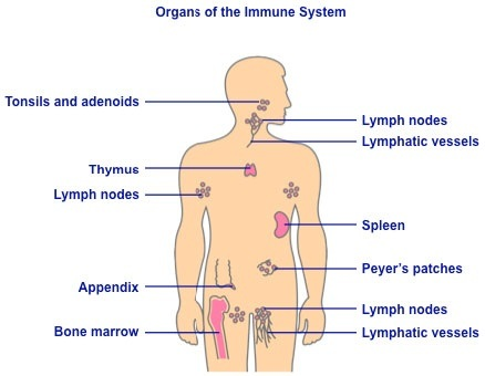 diagram of intestinal system how does the circulatory and immune system differ? - quora diagram of immune system