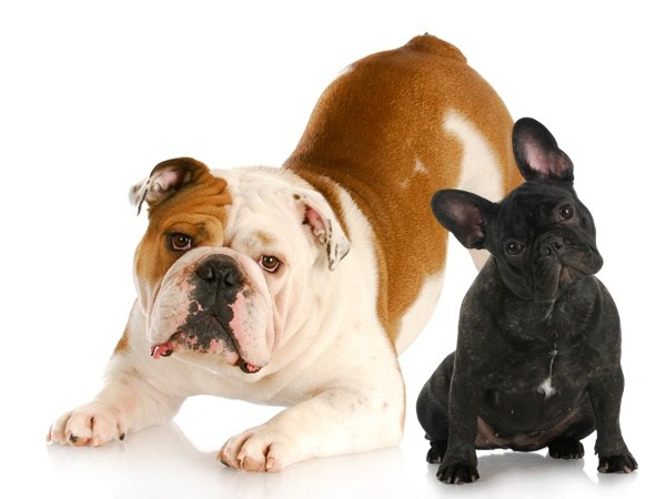 what is the difference between an english bulldog and a french bulldog