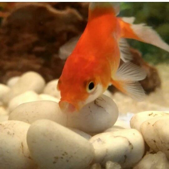 What are some good names for pet fish quora for Good pet fish