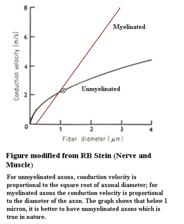 What Are The Functions Of The Myelin Sheath In The Nervous System