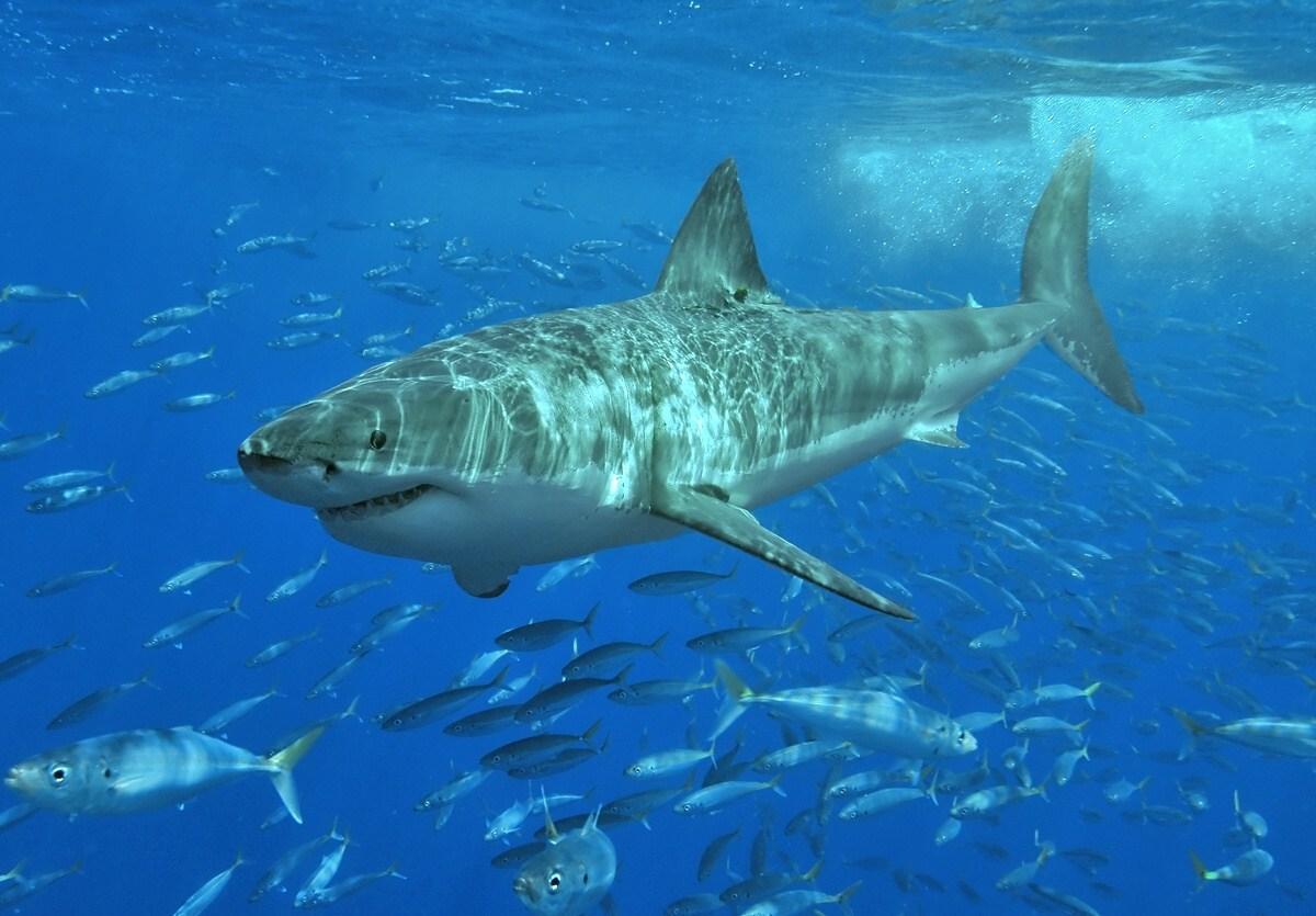 great white: great white shark