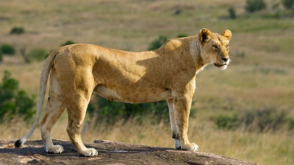 What is the feminine gender of a lion? - Quora