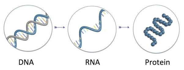 What Is The Translation Of Dna Quora