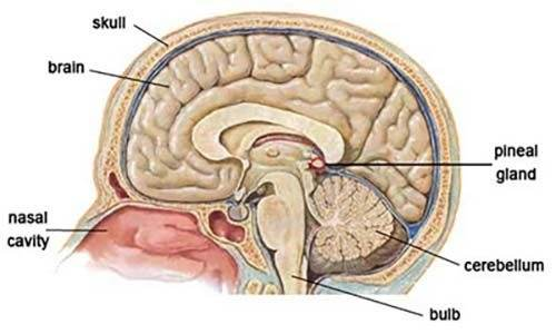What is the work of a pineal gland? - Quora