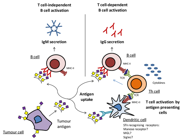 Can B Lymphocytes Function Independently Without T Cells