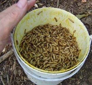 What You Most Likely Have Are Not Meal Worms But The Black Solr Fly Larvae