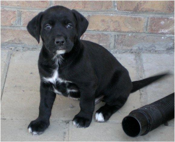 how rare is a black and white labrador quora