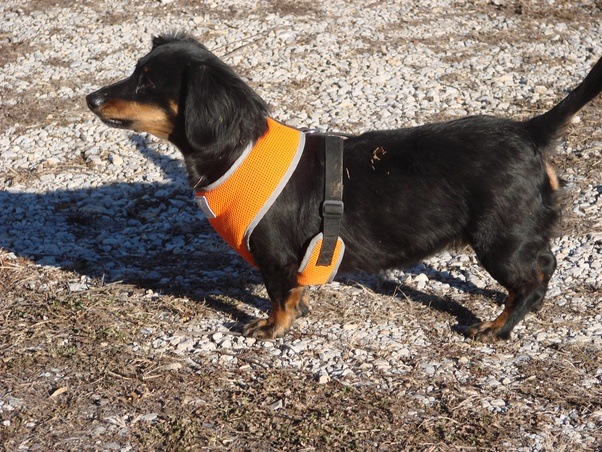 how were dachshunds wiener dogs used to hunt badgers quora