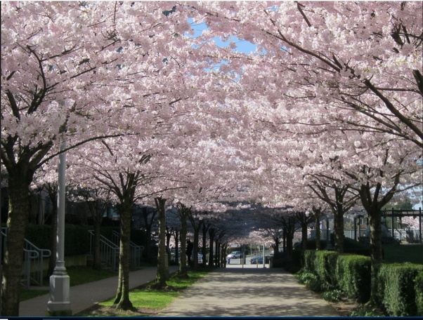 Why Can T China And Korea Plant More Cherry Blossoms In Their Cities Quora