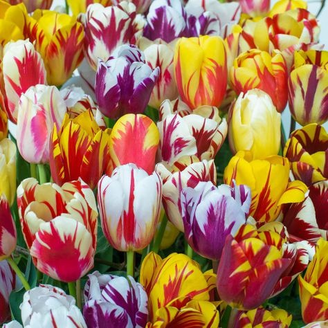 what is the time to visit the tulip garden in srinagar quora. Black Bedroom Furniture Sets. Home Design Ideas
