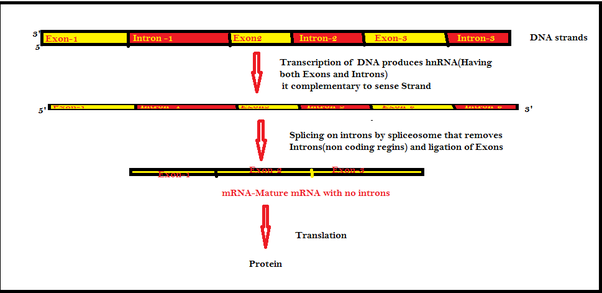 difference between template and coding strand - in biology what are introns and exons quora