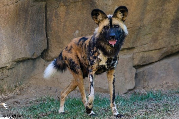 Why Can T African Wild Dogs Be Domesticated