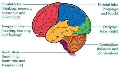 What part of the brain controls thought? What actually ...
