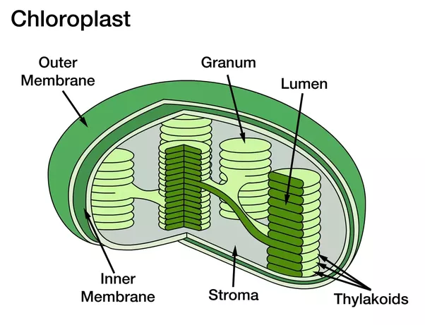 What organelle contains chlorophyll quora the chloroplasts contain stacks of chlorophyll in such a structure ccuart Image collections