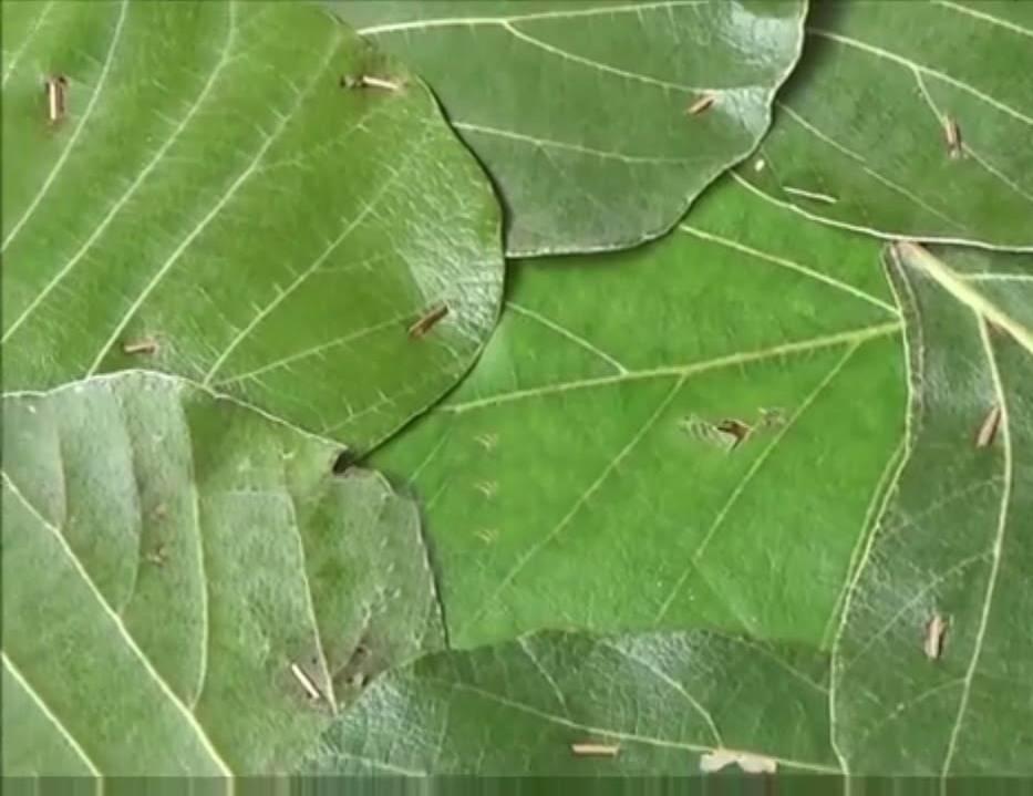 విస్తరాకు