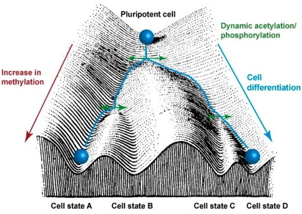 Could stem cells just be epigenetic quora now note the diagram above see the blue ball on the top that represents an ips cell an undifferentiated cell that can be determined to become anything ccuart Images