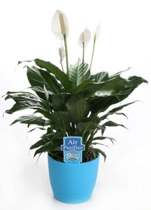 What are some species of large indoor potted plants? - Quora