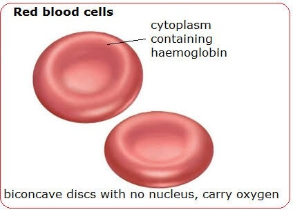 what does a red blood cells diagram indicate quora Red Blood Cells Under Microscope