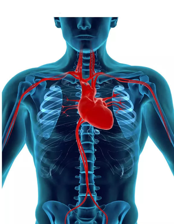 Is it true that the human heart is on the left side? Why? - Quora