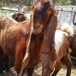 Are Damascene Goats real? - Quora