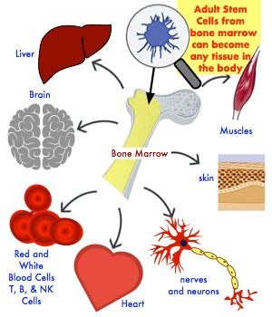 Brain stem cells in adults