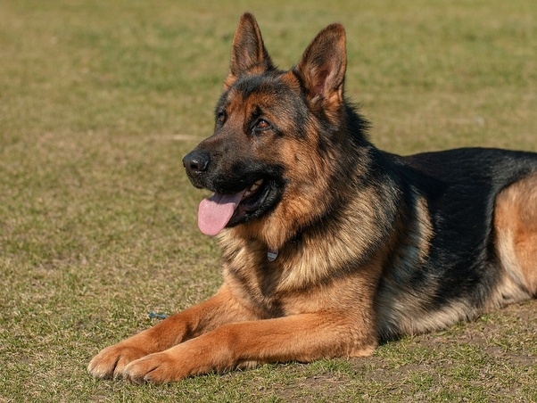 What Is The Price Of A German Shepherd Dog In India Quora