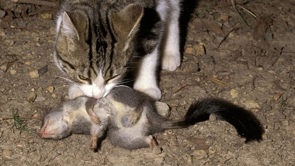 Why is Australia killing millions of cats? What problems ...