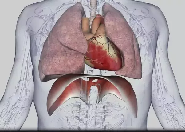 Why doesnt heart locate in the middle of the body quora it is tilted towards the right and the condition is called dextrocardia for why it is so lets look at what the heart does below is a diagram of ccuart Image collections