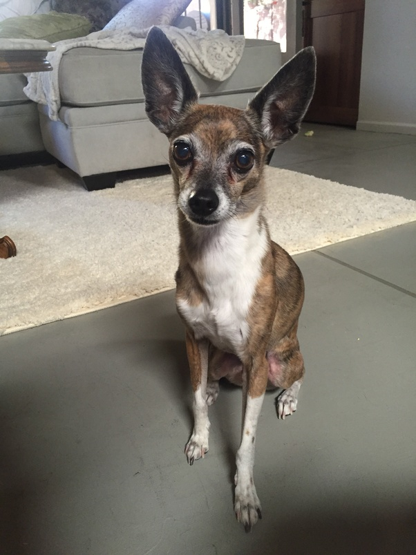 How Much Is A Long Legged Reindeer Chihuahua Worth Quora