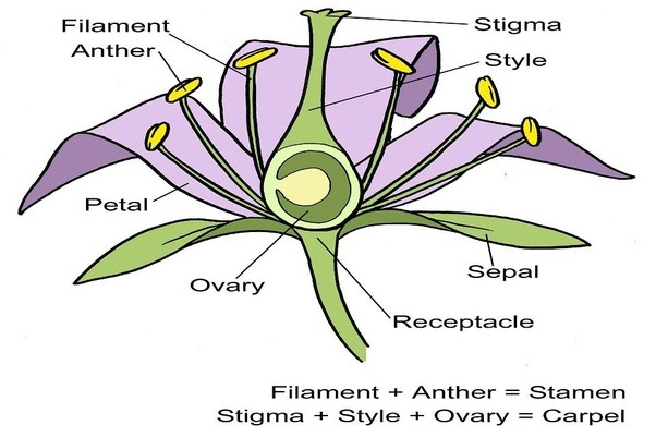 How To Describe The Life Cycle Of Flowering Plants